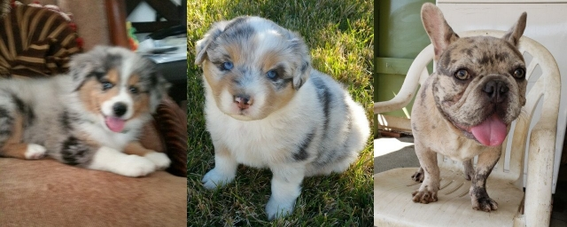 collage of 3 dogs: 2 Australian shepherd puppies and french bulldog